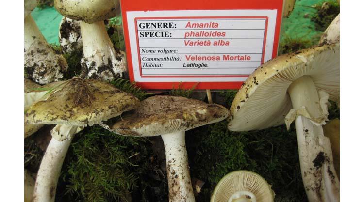 amanite-falloide-fungo-mortale