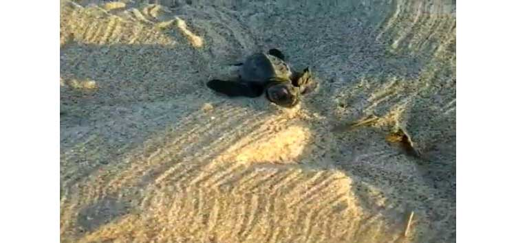 tartaruga-caretta-caretta-nido-platamona