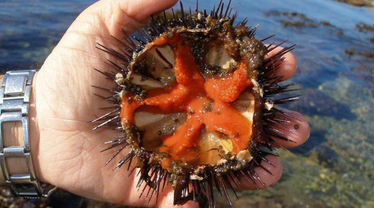 riccio-di-mare-aperto